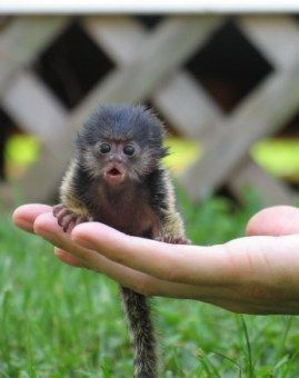 Been looking into exotic animals for sale with my mom .. Thinking about trying to butter up my dad for a baby marmoset. ;)