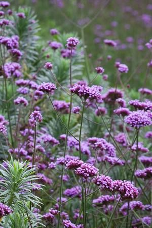 Verbena bonariensis with the foliage of Euphorbia characias