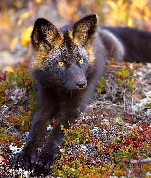 The silver fox is one of many endangered species in Canada.The silver fox is a melanistic form of red fox. Silver foxes display a great deal of pelt variation: some are completely black except for a white coloration on the tip of the tail, some are bluish-grey, and some may have a different color on the sides.