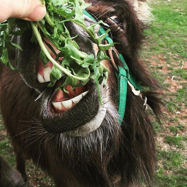 #donkey #blackforest #schwarzwald #esel #krauthäusle #Farm #countrylifestyle #bauernhofleben