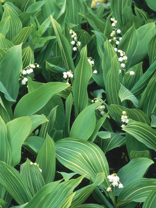 Lily Of The Valley Is An Old Fashioned Perennial With Delicate, Tiny,  Bell Shaped Flowers. It Will Grow In The Deep Shade Of Large Trees And  Shrubs, ...