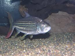 goliath tiger fish in aquarium - Google Search
