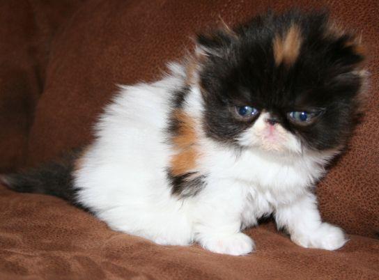 Cute Calico Cat Pictures