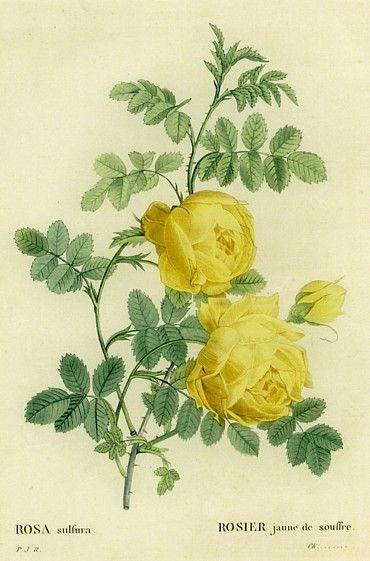 ルドゥーテ「地中海の黄色いバラ」小・エレガント額装