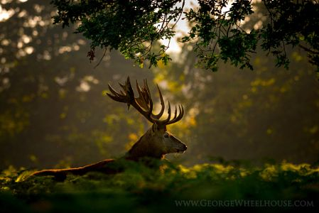 Deer In Ferns by George Wheelhouse