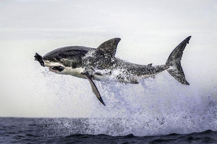 Un grand requin blanc en plein vol au Cap, en Afrique du Sud.