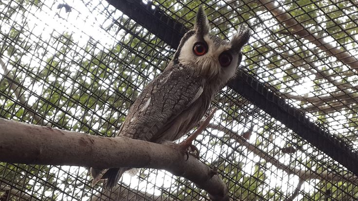 One of the White-faced owls new on display in the park. #umgeniriverbirdpark, #owl, #cute, #bird, #durban