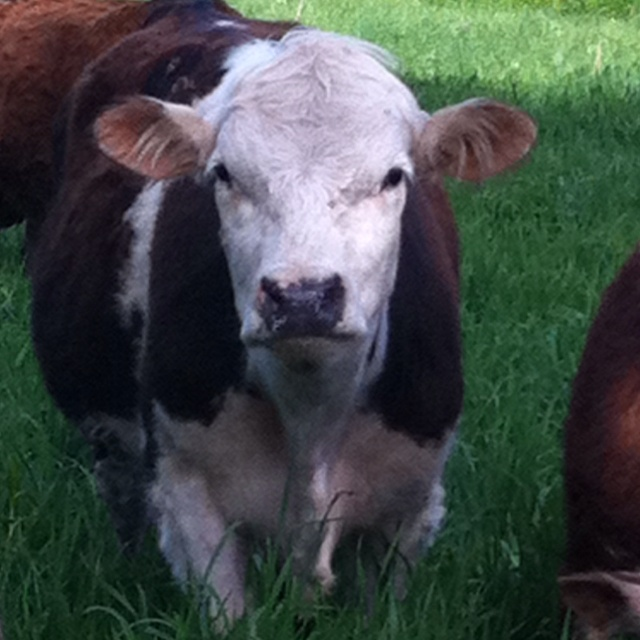 Moo!!: Sweets Face, Cows 2, Things Cows, Homesteads Farms, Ganado Vacuno, Brown Cows, Farms Livin, God Creatures, Animal Awwwww