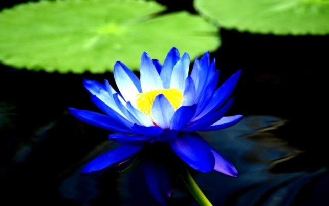 Gambar Bunga Tunjung Biru Gambar Bunga Hd Gambar Bunga Bunga Bunga Cantik
