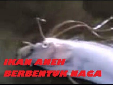 Aneh Tapi Nyata, Kejadian Aneh, Video Aneh, Naga merupakan sebuah binatang yang diyakini hanya mitos. apa jadinya bila binatang naga tersebut terdapat pada ikan. ikan aneh