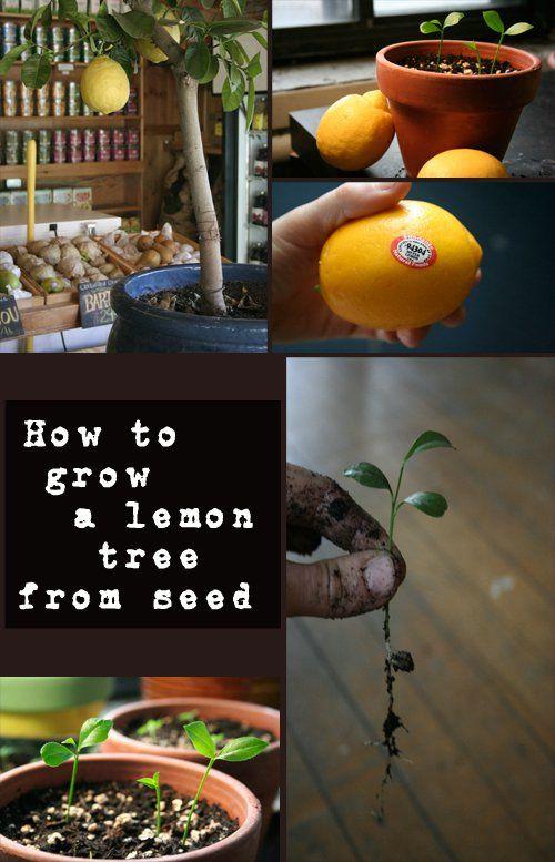 Best 25 lemon tree plants ideas on pinterest grow lemon for Can i grow a lemon tree from lemon seeds