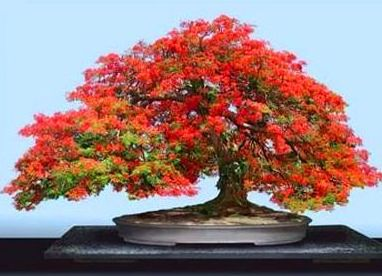 Photo du bonsai : Delonix flamboyant (Delonix regia)