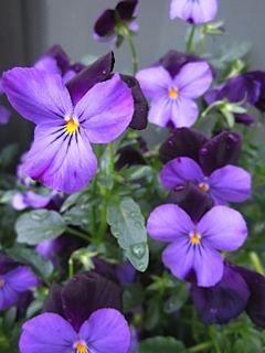 Pam's violets .