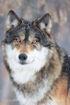 Winter Coat | Wolf Gallery | Photo copyright: Gary Jacobson | frozenshutter.com