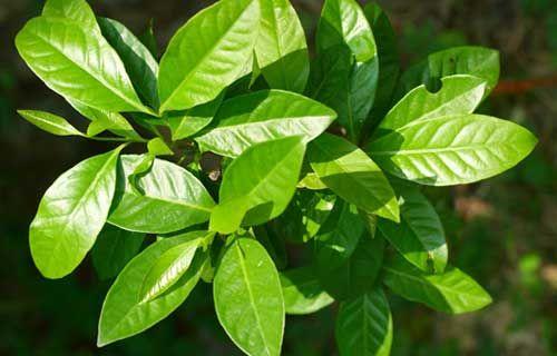 Manfaat Terpendam Daun Salam http://goo.gl/i5Tk9f  Pertama, mencegah Kanker: Daun Salam mengandung asam caffeic, quercetin, euganol dan catechin yang memiliki sifat perlindungan dan memberikan perlawanan terhadap berbagai jenis kanker.