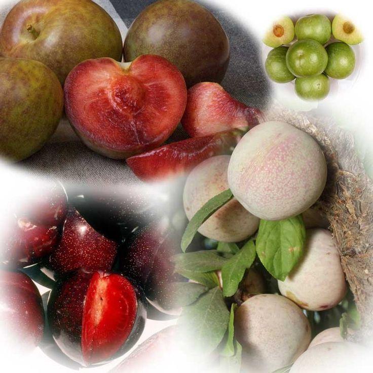 Best 25 multi fruit tree ideas on pinterest espalier fruit trees plum fruit images and - Graft plum tree tips ...