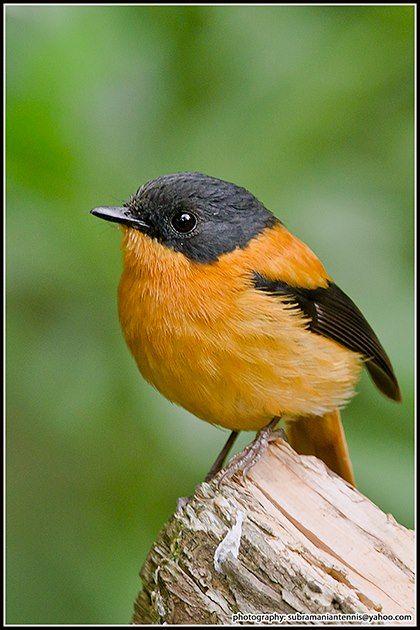 Black-and-orange flycatcher, India. By Subramanian Chockalingam