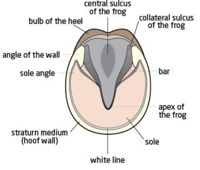 Horse Hooves Diagram Diagram