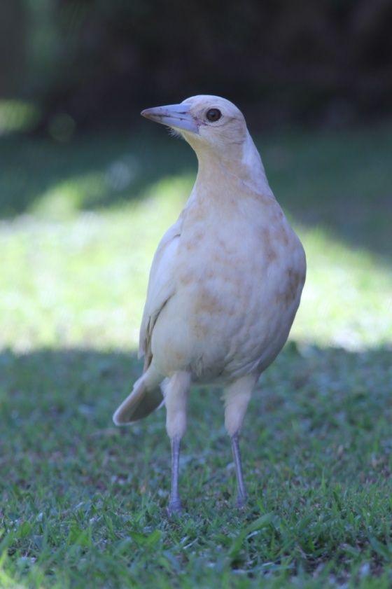 Cream Mutation, Australian Magpie