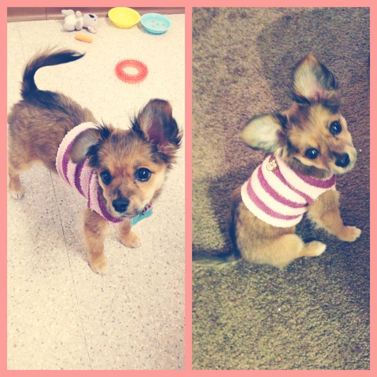 #DIY puppy sweater from a sock. Lola, my Chihuahua, Terrier, Papillon mix puppy. Puppy outfits are so cute!! #Chihuahua #Papillon #Terrier #puppy #puppyoutfit