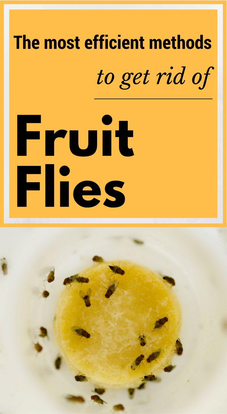 38 best common pest control problems images on pinterest pest 3 most efficient methods to get rid of fruit flies solutioingenieria Images
