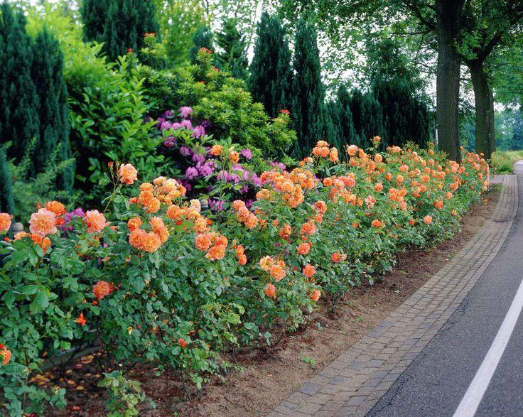 De 47 b sta roses bilderna p pinterest for Depot westerland