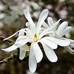 126 best fragrant gradens images on pinterest garden plants 16 favorite fragrant blossoms mightylinksfo