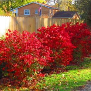 Dwarf Burning Bush (Euonymus alatus 'Compactus') (All Things Plants)
