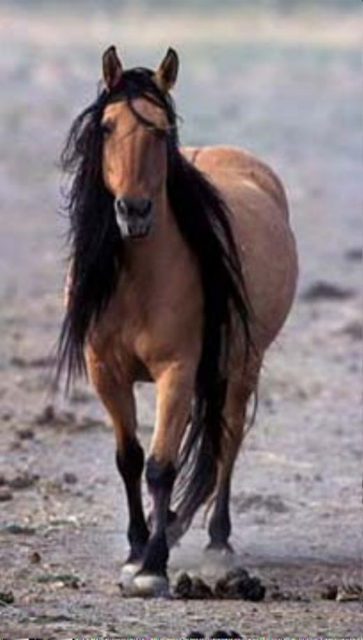 Kiger Mustang - his mane is as long as some horses' tails. My brothers fiance has a horse whose mane is down to the ground and they have to braid & fold for Dressage Shows!