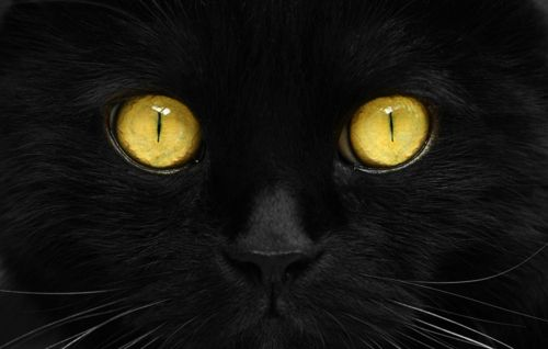 Black and Gold: Halloween Eye, Cat Eyes, Black Cat With Yellow Eye, Animal Eye, Black Cats, Yellow Eyes, Gold Eyes, Cats Kittens, Amber Eyes
