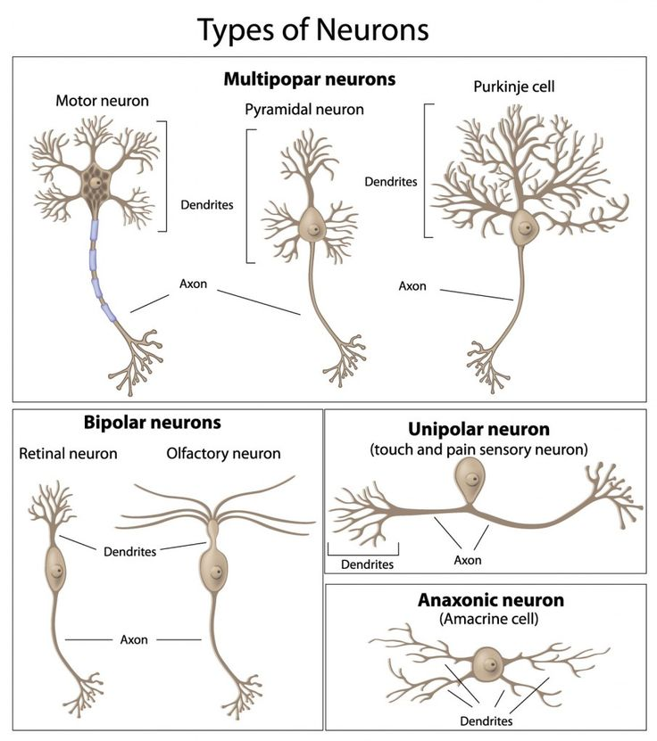 an analysis of the importance of neurons for the nervous system Neurons (nerve cells) are  what is the nervous system the nervous system is a control system of the body and is a bit  the nervous system is integral to our.