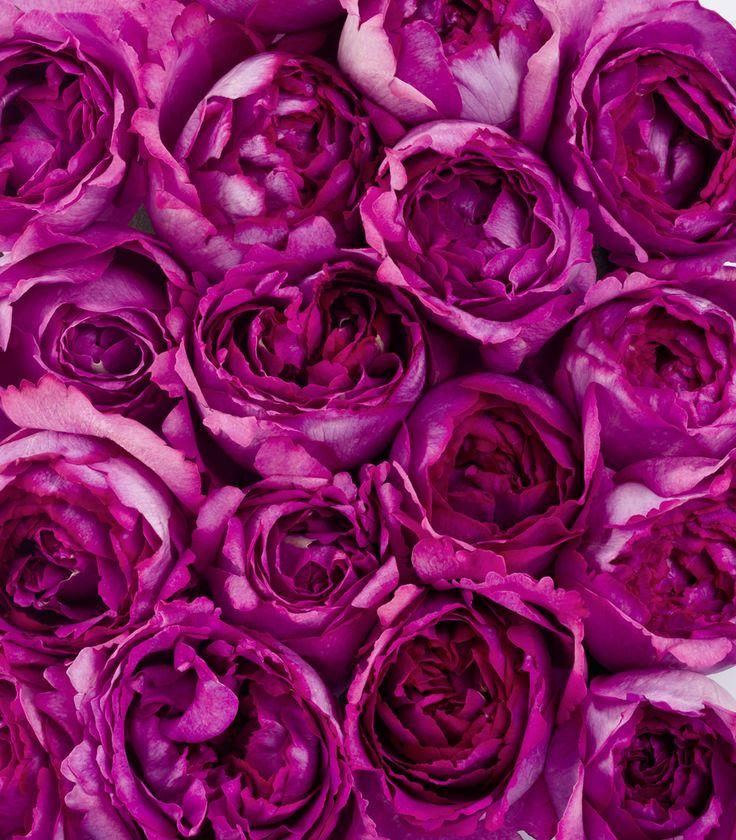 Yves Piaget Roses