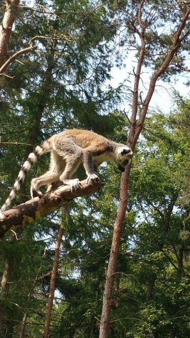 Lemurs @Yorkshire Wildlife Park