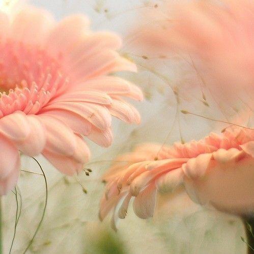 PeachWall Art, Pink Flower, Gerber Daisies, Gerbera Daisies, Soft Colors, Soft Pink, Beautiful, Pale Pink, Gardens
