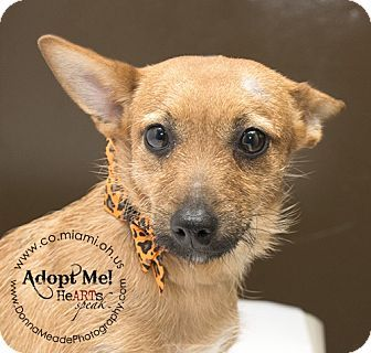 URGENT!  SOME PLEASE HELP, SHE'S JUST A BABY!!!   I am at a kill shelter in Troy, OH - Chihuahua/Terrier (Unknown Type, Small) Mix. Meet Precious a Dog for Adoption.