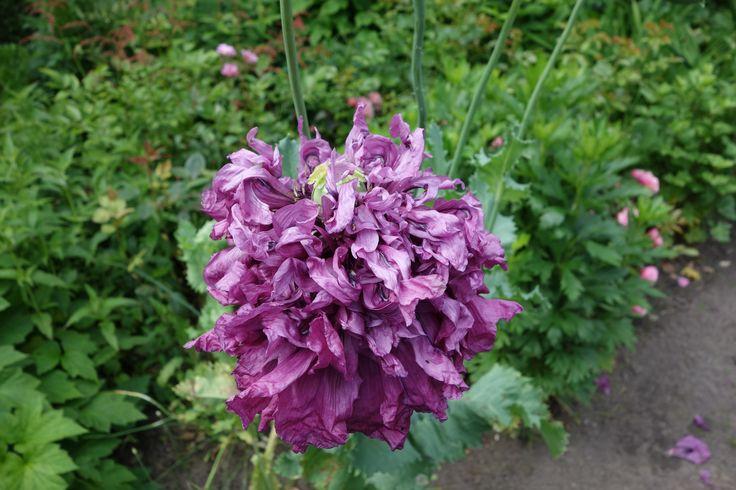 Papaver somniferum 'Black Paeony'. Deze eenjarige slaapbol 'Black Paeony' heeft prachtige, dik gevulde donkerpaarse bloemen. Er zijn ook rassen met enkele bloemen of gefranjerde bloemen. Het grof getande blad is grijsgroen. Na de bloei vormen zich decoratieve zaaddozen.