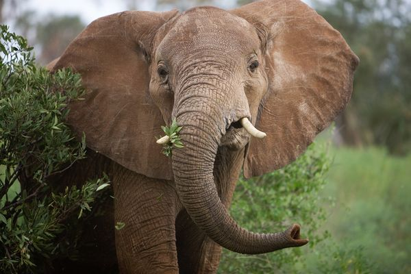 Google Image Result for http://images.nationalgeographic.com/wpf/media-live/photos/000/306/cache/african-elephants-two-species_30651_600x450.jpg