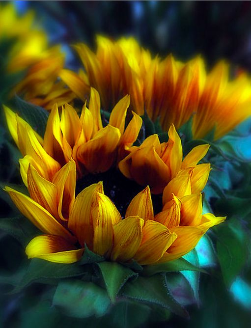 [sunflowers....]   ...must have