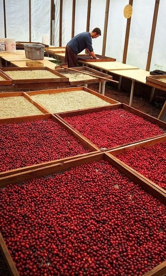 Coffee harvest abundance! The natural process.