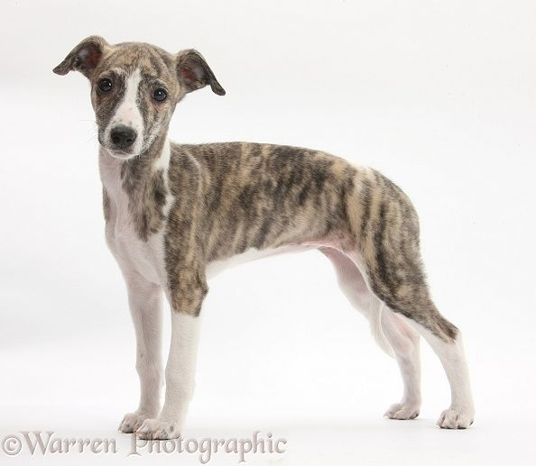 Dog: Brindle-and-white Whippet pup photo                                                                                                                                                                                 More