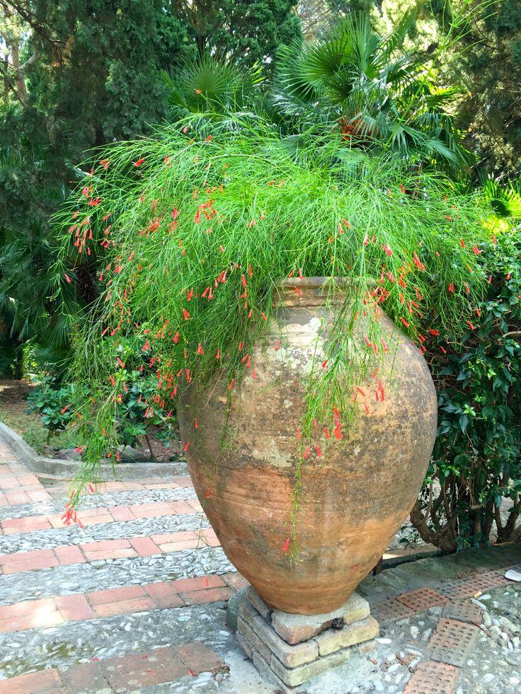 Russelia equisetiformis, Lebanon