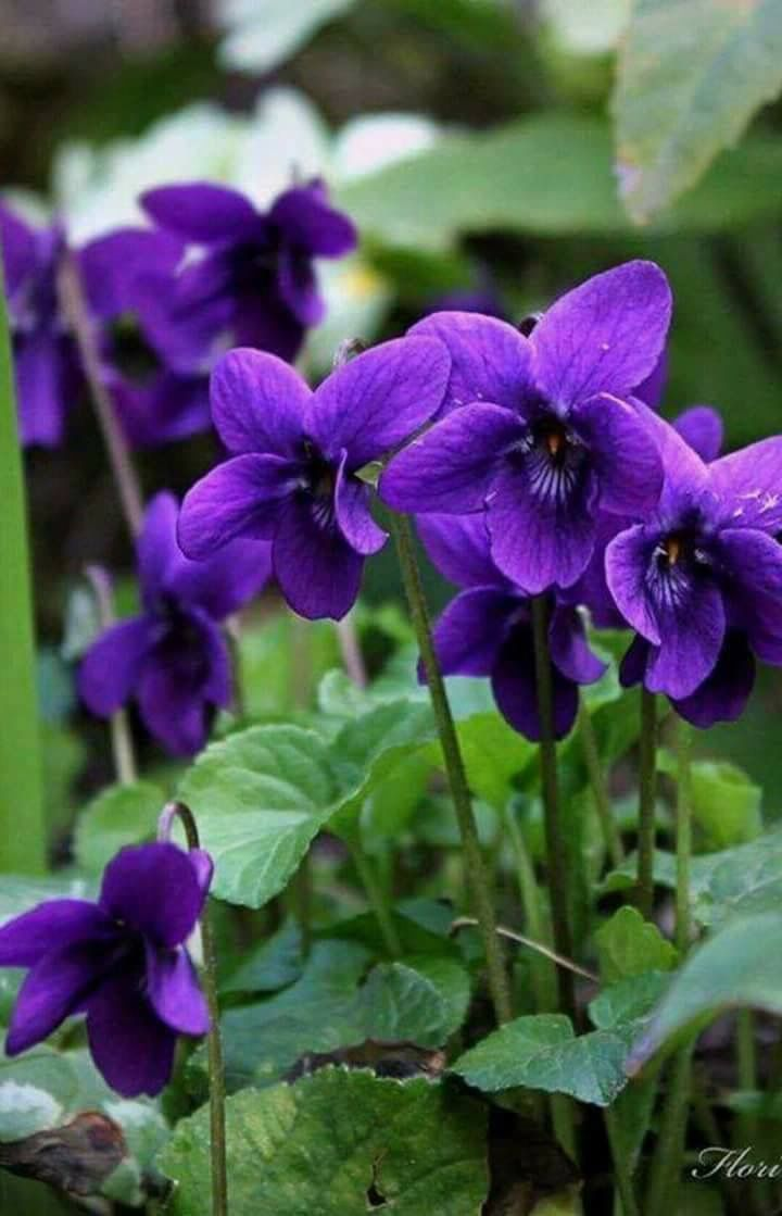 649 best fioki images on pinterest violets pansies and flowers the first spring violets izmirmasajfo