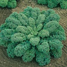 Kale  ou  Chou vert frisé demi nain