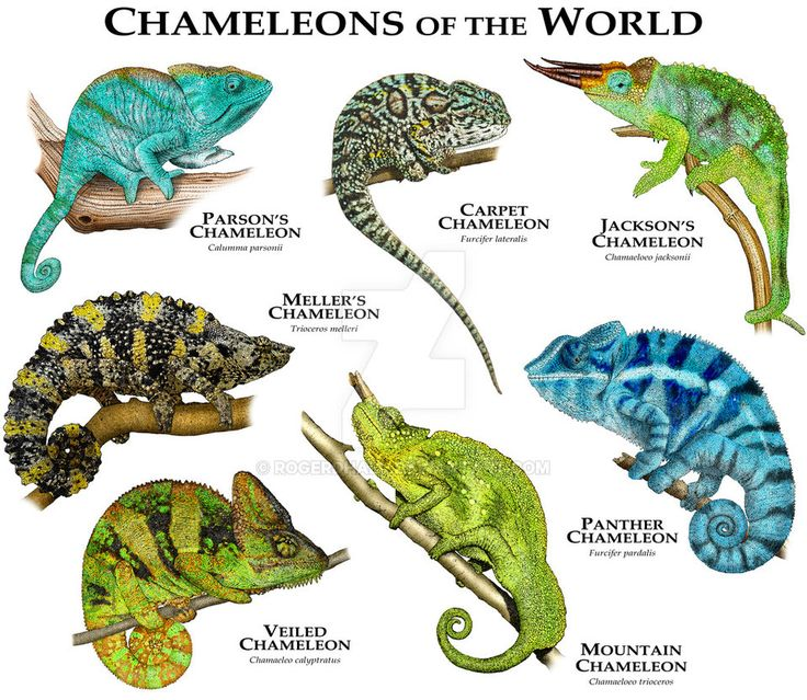 Chameleons of the World by rogerdhall on DeviantArt