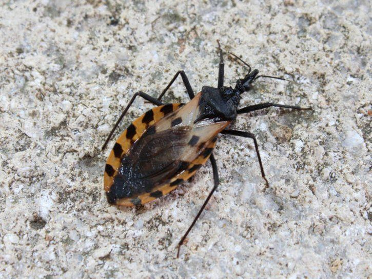 Deadly Kissing Bugs Chagas Disease In Illinois 5 Things To Know
