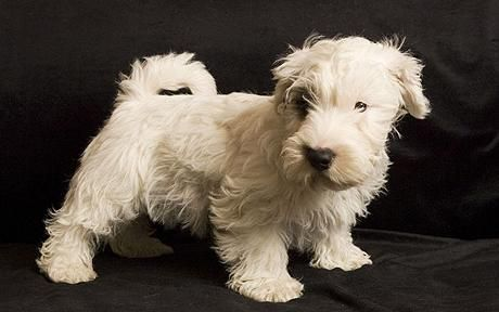 sealyham terrier - Google Search