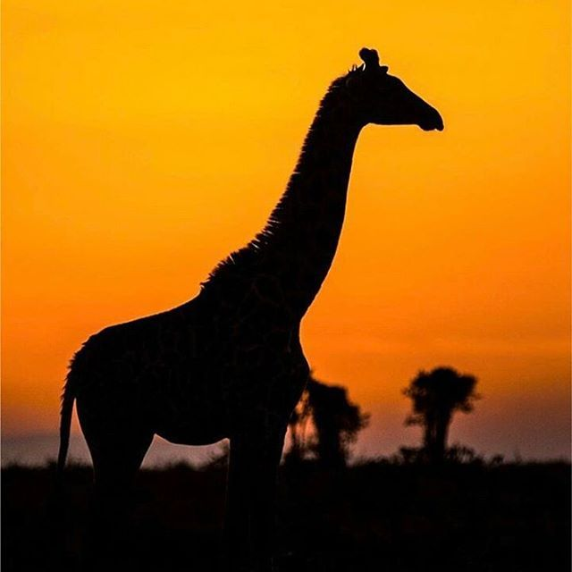 Beautiful Sunrise... A Giraffe stood in front of me just before the sun started to Rise. The colors of the rising sun were so beautiful and it created a very beautiful setting. The world's Giraffes populations have fallen drastically and this is because of poaching mainly. Poaching skin, meat and fun.  by @paraschandaria ❤ #ilovegiraffes #giraffes #jirafas #conservation #silentextinction #banhunting #loving_giraffe #mar_giraffes