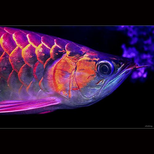 1000 images about arowana on pinterest blue gold for Red arowana fish for sale in usa
