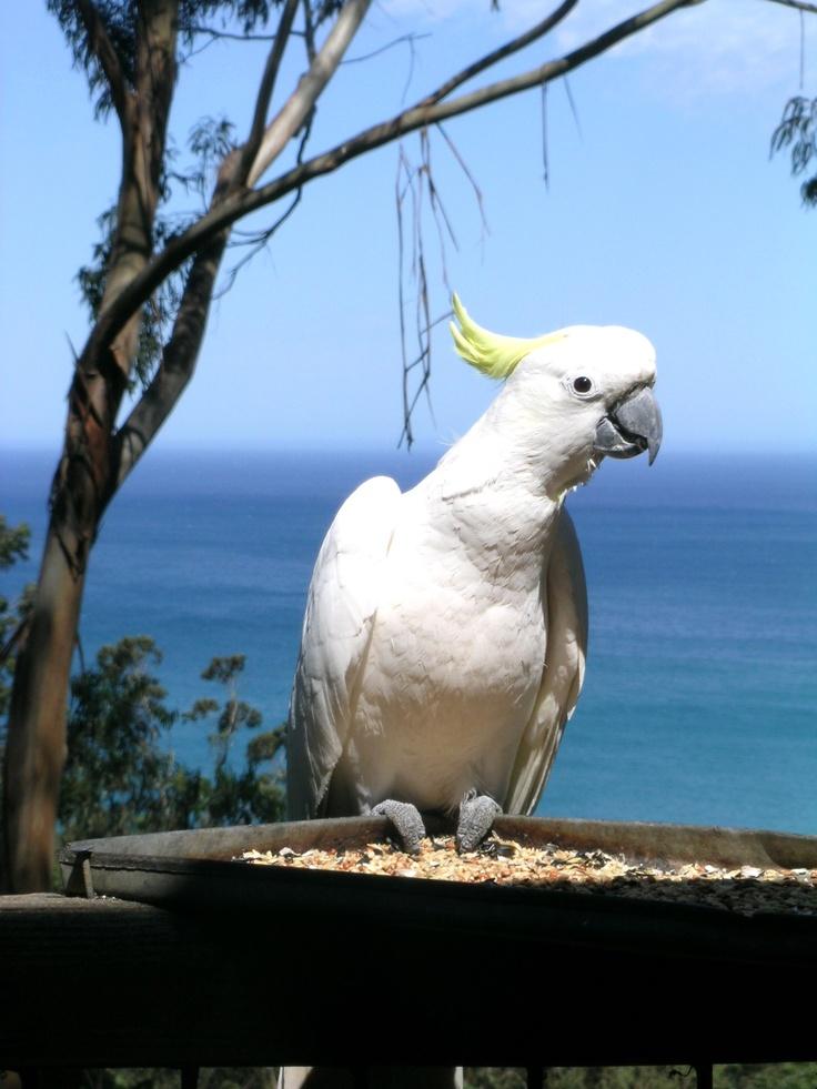 Sulphur-crested Cockatoo - Rose Cottage - Wye River - Great Ocean Road