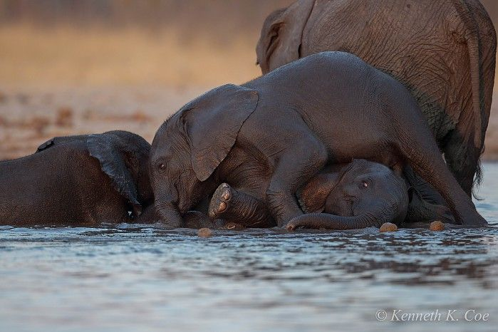 """""""It had to be done. There was unfinished business. We had to return to Little Makalolo. Over the span of four nights in September, we scoured every nook of Wilderness Safaris' private concession in Hwange National Park, Zimbabwe. As expected, fantastic photographic opportunities abounded along with nature's dramatic moments.""""    ~ Guest Kenneth Coe"""